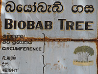 Sri Lanka - Biobab-Tree in Mannar